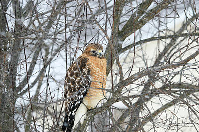 Photograph - Winter Hawk by Jackson Pearson