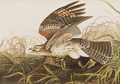Birds Of Prey Drawing - Winter Hawk by John James Audubon