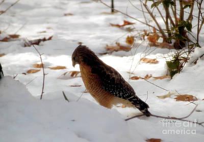 Photograph - Winter Hawk by Patricia Griffin Brett