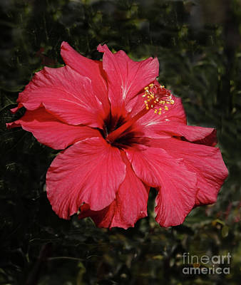 Photograph - Winter Hibiscus by Robert Bales