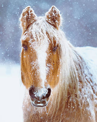 Animals Royalty-Free and Rights-Managed Images - Winter Horse Portrait by Debi Bishop