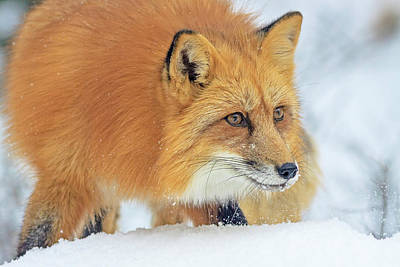 Photograph - Winter Hunter  by Jack Bell
