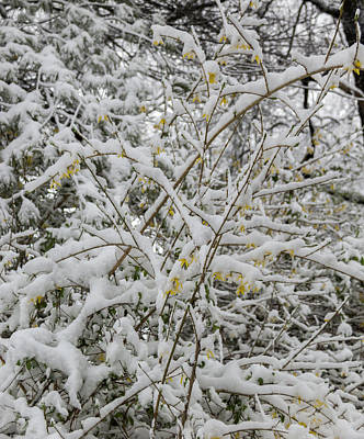 Photograph - Winter In Spring Forsythia 2 by Keith Mucha