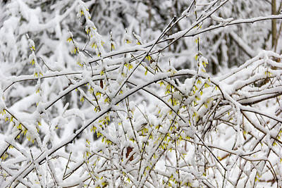 Photograph - Winter In Spring Forsythia 3 by Keith Mucha