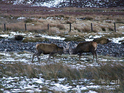Photograph - Stags Winter Joust by Phil Banks