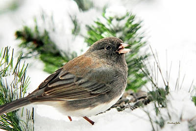 Photograph - Winter Junco by Christina Rollo