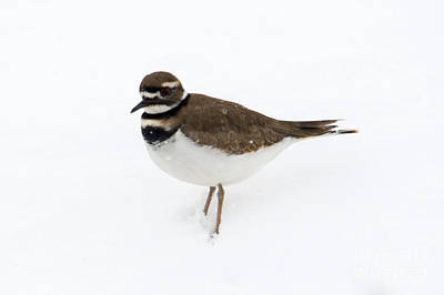 Photograph - Winter Kildeer by Mike Dawson