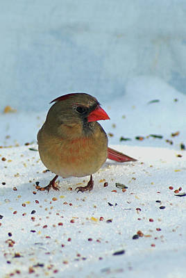 Photograph - Winter Lady Cardinal by Margie Avellino