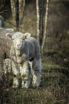 Photograph - Winter Lamb by Belinda Greb
