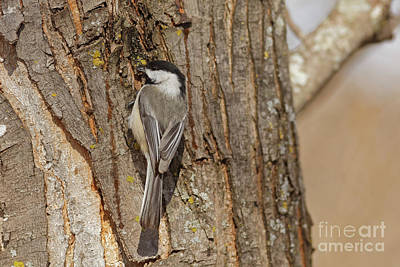 Photograph - Winter Little Chickadee by Natural Focal Point Photography