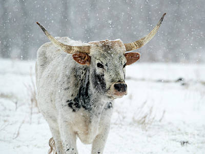 Winter Longhorn Art Print by Mike Dawson