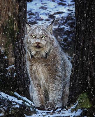 Winter Lynx Art Print by Tracy Munson