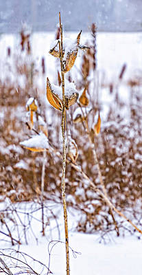 Photograph - Winter Milkweed 4 by Steve Harrington