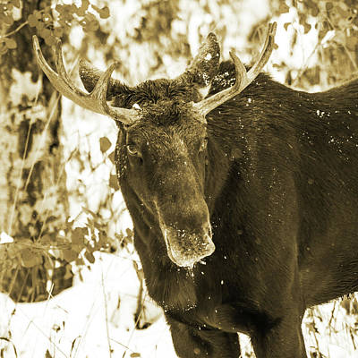 Photograph - Winter Moose - Sepia by TL Mair