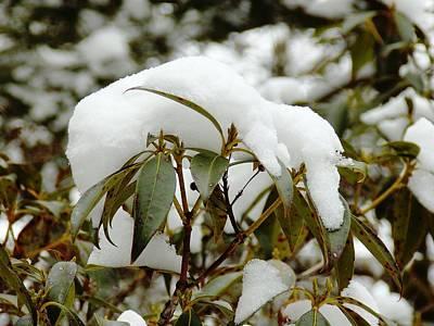 Stocktrek Images - Winter Mountain Laurel 1 by Nina Kindred