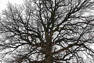 Photograph - Winter Oak by Debbie Oppermann