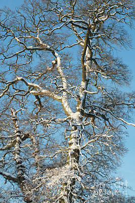 Photograph - Winter Oak by Tim Gainey