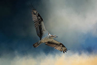 Winter Osprey Print by Jai Johnson