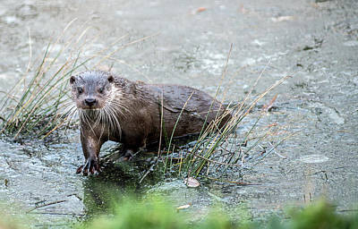 Photograph - Winter Otter by Cliff Norton
