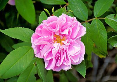 Photograph - Winter Park Rose by Robert Meyers-Lussier