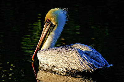 Photograph - Winter Pelican by HH Photography of Florida