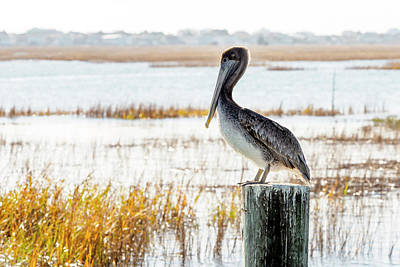 Photograph - Winter Pelican by Van Sutherland