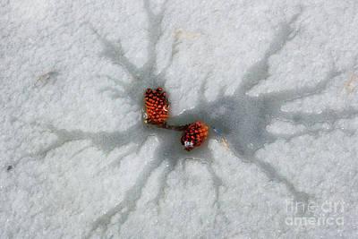 Photograph - Winter Pine Cones by Juli Ellen