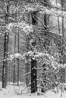 Photograph - Winter Pine by Joshua Hakin