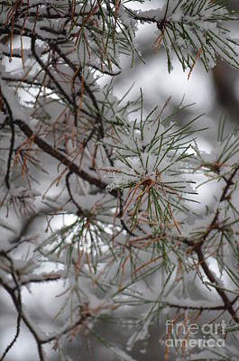 Photograph - Winter Pines by Maria Urso