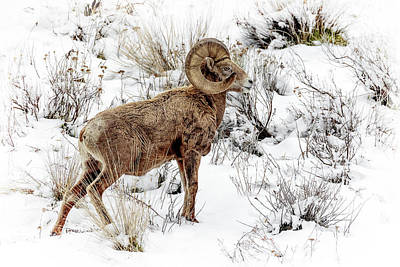 Photograph - Winter Ram by Wes and Dotty Weber
