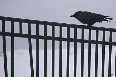Photograph - Winter Raven by John Meader