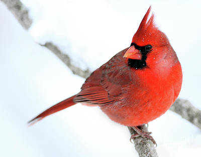 Photograph - Winter Red by Art Cole