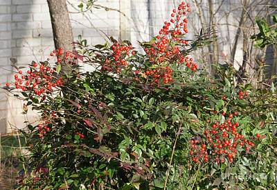 Photograph - Winter Red Berries by Linda Phelps