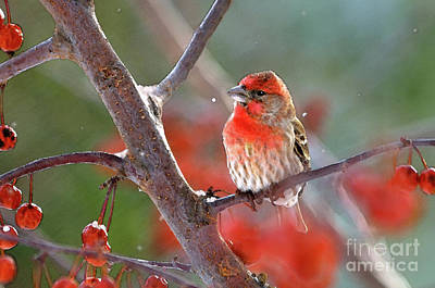 House Finch Photograph - Winter Red by Betty LaRue