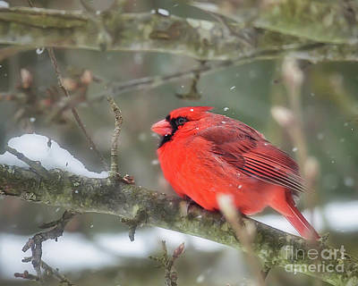 Photograph - Winter Red by Kerri Farley
