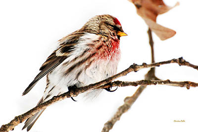 Photograph - Winter Redpoll by Christina Rollo