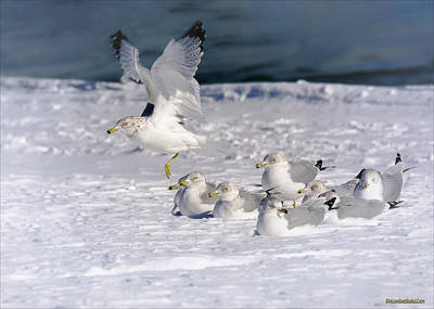 Photograph - Winter Ring Billed Gulls  by LeeAnn McLaneGoetz McLaneGoetzStudioLLCcom
