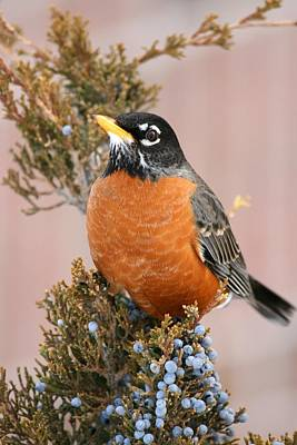 Photograph - Winter Robin by David Dunham