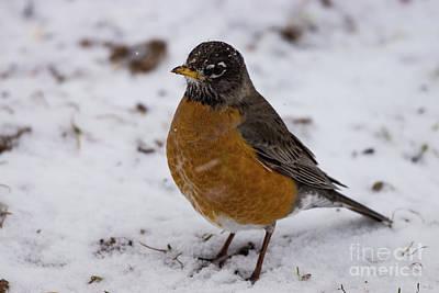 Photograph - Winter Robin by Jennifer White