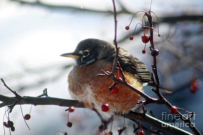 Photograph - Winter Robin by Laura Kinker