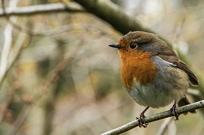 Photograph - Winter Robin by Martina Fagan