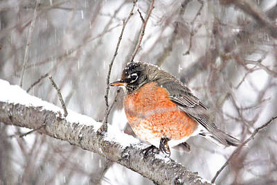 Photograph - Winter Robin by Trina Ansel