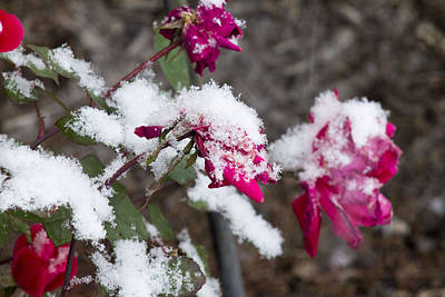 Photograph - Winter Rose by Danielle Allard