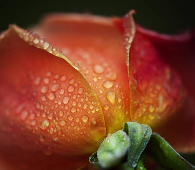 Photograph - Winter Rose Four by Stephen Anderson