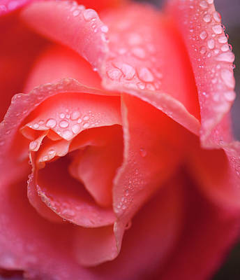 Photograph - Winter Rose Three by Stephen Anderson