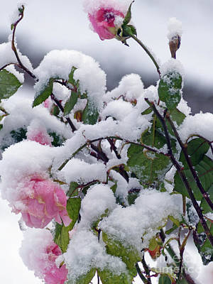 Photograph - Winter Roses by Phil Banks