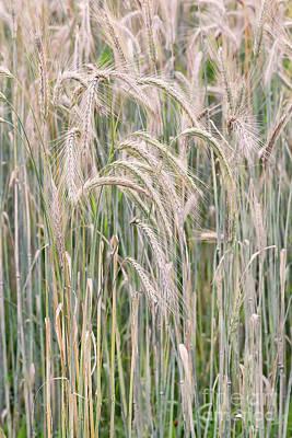 Photograph - Winter Rye Grass 2 by Alan L Graham
