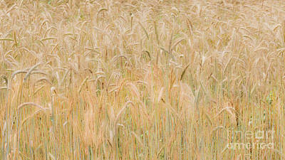 Photograph - Winter Rye Grass by Alan L Graham