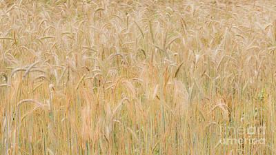 Photograph - Winter Rye Grass by Alan L Graham