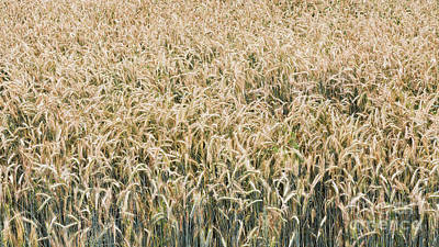 Photograph - Winter Rye Pastures by Alan L Graham